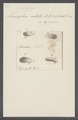 Leucophra notata - - Print - Iconographia Zoologica - Special Collections University of Amsterdam - UBAINV0274 113 17 0008.tif