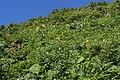 Ligularia dentata and Bistorta officinalis.jpg