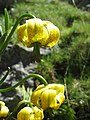 Lilium pyrenaicum - Flickr 003.jpg