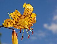 Lily Lilium 'Citronella' Flower.jpg