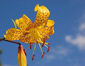 Citronella lily (Lilium 'Citronella')