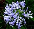 Lily Of The Nile -- Agapanthus praecox.jpg