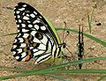 Lime Butterfly (Papilio demoleus) mud-puddling W2 IMG 0285.jpg