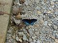 Limenitis arthemis astyanax on gravel.jpg