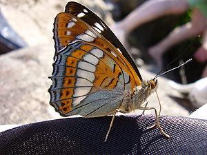 Limenitis - Poplar admiral (L. populi)