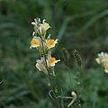 Linaria vulgaris-Linaire commune-Tige-20170907.jpg