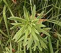 Linaria vulgaris 03 ies.jpg