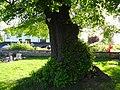 Linde auf dem Friedhof (Ostheim) 06.JPG