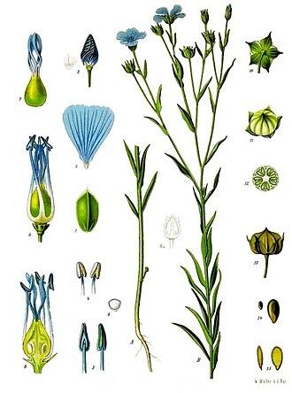 Flax - Image: Linum usitatissimum Köhler–s Medizinal Pflanzen 088