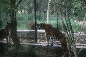 Tiger versus lion - Image: Lions 02