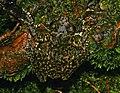 Litoria nannotis camouflage.jpg