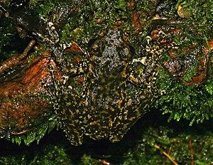 The Waterfall Frog (Litoria nannotis) of Austr...