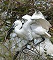 Little Egret (Egretta garzetta) - Flickr - berniedup.jpg