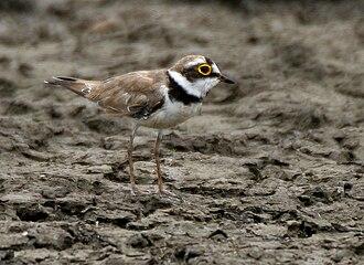 Plover - Little ringed plover Charadrius dubius