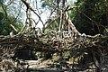 Living Root Bridge, Mawlynnong.jpg