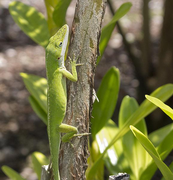 File:Lizard (6934353420).jpg