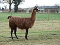 Llama surveying its territory - geograph.org.uk - 740515.jpg