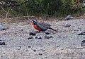 Long-tailed Meadowlark (48338252402).jpg