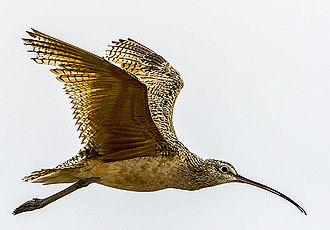 Long-billed curlew - Long-billed Curlew in flight