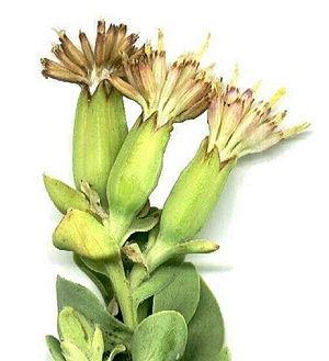 Senecioneae - Lopholaena coriifolia