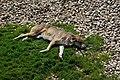 Loup à Juraparc (deuxième enclos) 18-08-2012 01.JPG