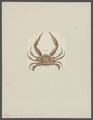 Lupea hastata - - Print - Iconographia Zoologica - Special Collections University of Amsterdam - UBAINV0274 094 20 0009.tif