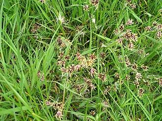 Luzula campestris - Image: Luzula campestris in Wales