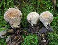 Lycoperdon echinatum 107913.jpg