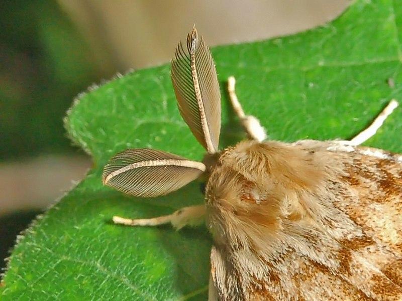 File:Lymantridae - Lymantria dispar-2 (8303376700).jpg