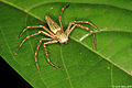 Lynx spider (Oxyopidae) from W-Javan rainforest (5106195637).jpg