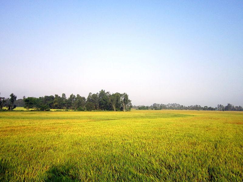 File:Một cánh đồng lúa chín.jpg