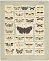 MA I437912 TePapa Plate-LI-The-butterflies full.jpg