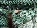 MN Giant Waterbug (14755125143).jpg