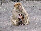 Macaca-sylvanus-barbary-ape-family-0c.jpg