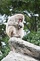 Macaca fuscata in Ueno Zoo 2019 39.jpg