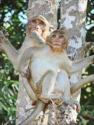 Macaques dans le parc dAngkor Vat (6931909635)