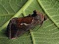 Macdunnoughia confusa - Dewick's Plusia - Металловидка-капля (27235281858).jpg