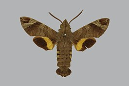 Macroglossum nubilum BMNHE813505 male up.jpg