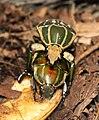 Magnificent Flower Beetle 012.jpg