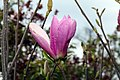 Magnolia Jane 7zz.jpg