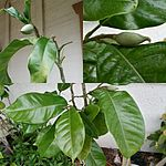 Magnolia liliifera foliage and flower bud in collage- Provenance of then plant is from Logee's Greenhouse- 2014-05-12 09-40.jpg