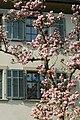 Magnolia x soulangeana Dornbirn 3.jpg