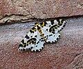 Magpie. Abraxus grossularia - Flickr - gailhampshire.jpg