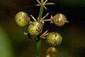 Maianthemum.bifolium3.-.lindsey.jpg