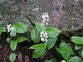 Maianthemum canadense.jpg
