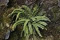 Maidenhair Spleenwort - Asplenium trichomanes (40341560765).jpg