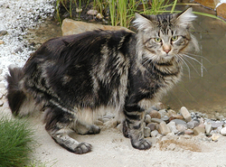Mainecoon1.png