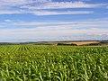 Maize above Upper Lambourn - geograph.org.uk - 918562.jpg
