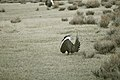 Male Greater Sage-Grouse (6948222146).jpg