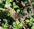 Mallow Skipper. Carcharodus alceae (24569153632).jpg